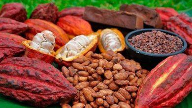 Photo of Filière cacao : les chocolatiers français accompagnent la labellisation de la fève camerounaise