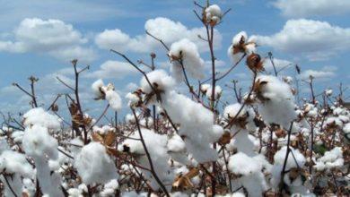 Photo of Filière coton: le spectre de la crise plane toujours