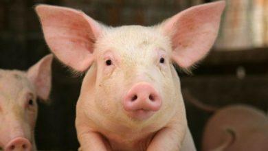 Photo of Dangers sur la filière porcine