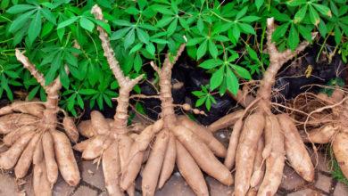 Photo of Agro-industrie : 130 millions FCFA pour la transformation du manioc dans l'Est