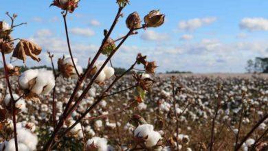 Photo of Coton: malgré la controverse, la Sodecoton opte pour l'utilisation des OGM