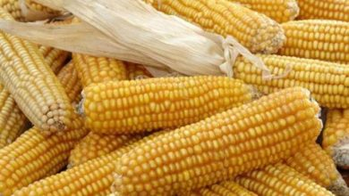 Photo of Production de maïs: le Cameroun déficitaire de 0,6 millions de tonnes