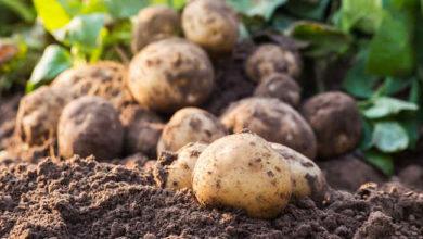 Photo of Agriculture : l'Ouest et le Nord-Ouest, leaders de la culture de la pomme de terre au Cameroun