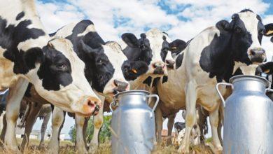 Photo of Elevage: le Cameroun ambitionne d'inséminer plus de 270000 vaches d'ici 2027