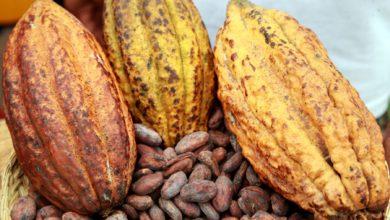 Photo of Cacao : le gouvernement confesse l'échec du plan de relance de la filière