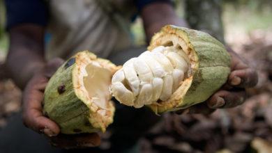 Photo of Cacaoculture : ces bénéfices liés à la professionnalisation des planteurs