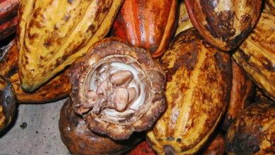 Photo of Cacao : Barry Callebaut veut introduire les cabosses  dans la fabrication du chocolat