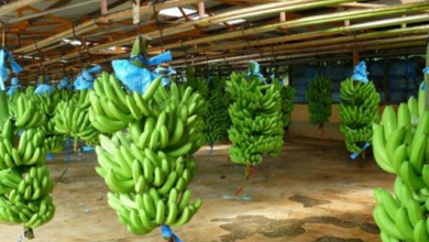 Photo of Les exportations de bananes du Cameroun en baisse de plus de 48 000 tonnes
