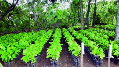 Photo of Campagne 2019-2020 : la Sodecao va distribuer 4 millions de plants de cacaoyers aux agriculteurs