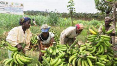 Photo of La banane camerounaise à l'épreuve des APE