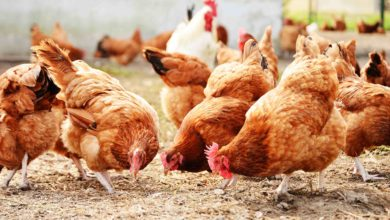 Photo of Covid-19 : 7 milliards de pertes pour le secteur avicole