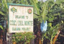 Photo of Exportations de la banane : la CDC reprend du service après 18 mois d'inactivités
