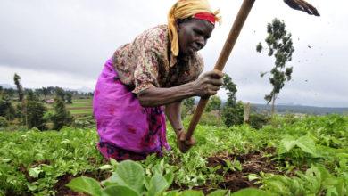 Photo of Les agriculteurs du Moungo et du Nkam reçoivent 144 millions