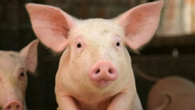 Photo of Le coronavirus dégraisse la filière porcine