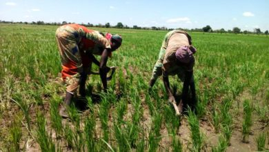 Photo of Paul Biya autorise un prêt de 28 milliards pour booster la production du riz camerounais